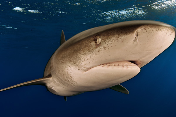 Motor Boat & Yachting | Oceanic White Tip Shark