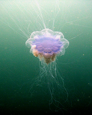 Blue Jellyfish | Motor Boats Monthly