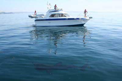 Basking Shark   News   Motor Boats Monthly  