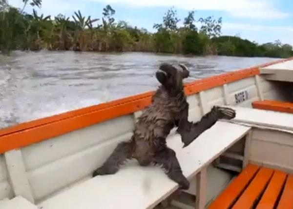 Sloth-on-boat-video.jpg