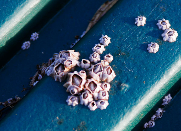 12 things you never knew about barnacles - Motor Boat & Yachting