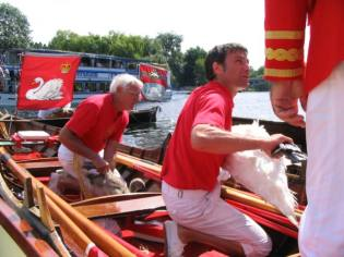 River Thames ceremonial Swan Upping census