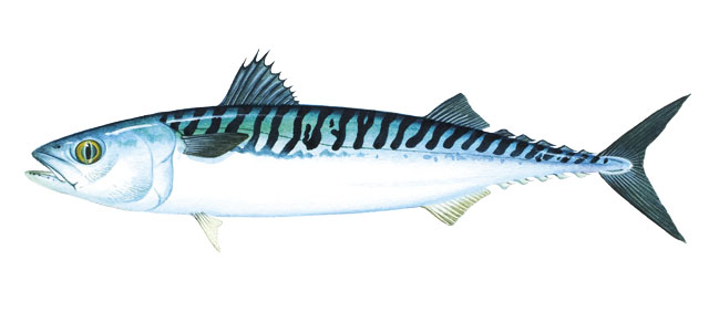 how to catch slimy mackerel