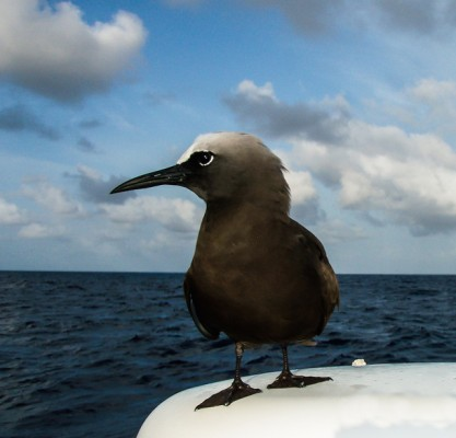 A Brown Noddy claims a radome as its perch halfway between Ascension Island and Barbados. Credit: Ellen Massey Leonard