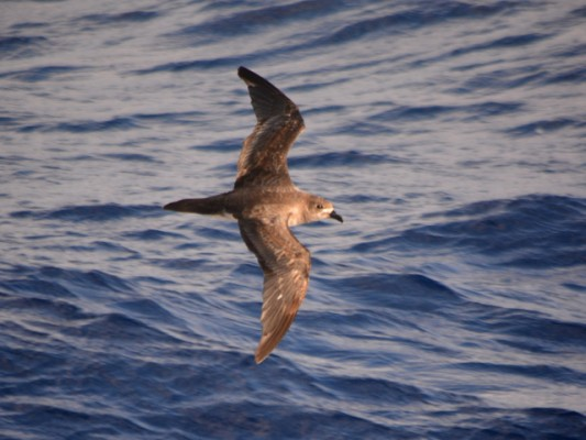 A Trindade Petrel at home a thousand miles from shore. Credit: Michael Sammer