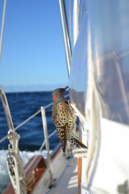 Woodpeckers at sea, for the second season in a row - a Northern Flicker reported 20 to 60 miles off the mid-Atlantic coast of the U.S. Credit: LeAnn Marchman