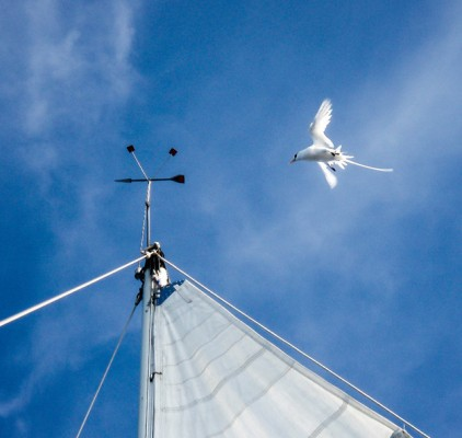 A white-tailed tropicbird. Credit:Ellen-Leonard. Credit: Ellen Massey Leonard