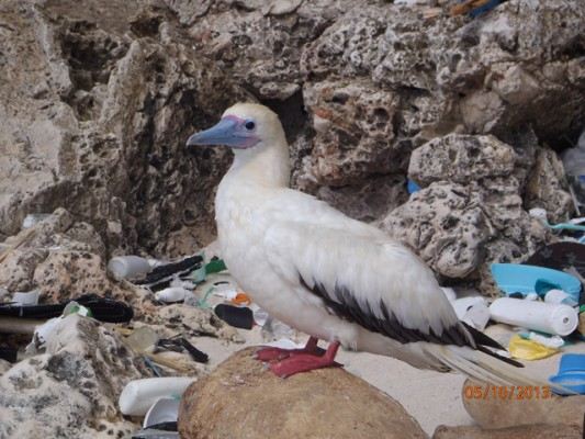 A red-footed booby on Christmas Island in the Indian Ocean. Credit: CSIRO, Britta Denise Hardesty
