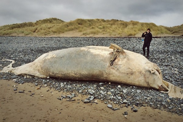 Dead whale washes ashore in Wales. Photographs taken by Ali Chedgy Dyfi National Nature Reserve Natural Resources Wales