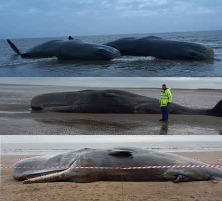 Sperm whales washed up off the East coast of England