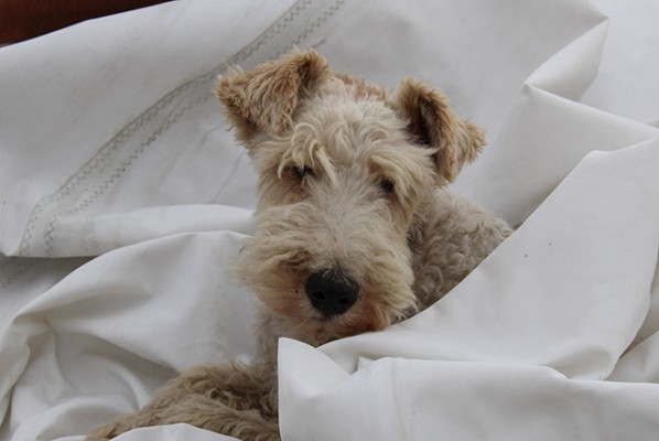 Eddie the fox terrier helping with sail repairs. Sent in by Trixie Ashby