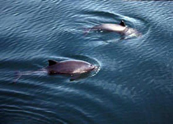 Harbour porpoise. Credit: Hebridean Whale & Dolphin Trust