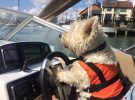 Here's Dougal, who will be 9 in a few weeks and has been boating with us since a pup. From Tom Brissenden
