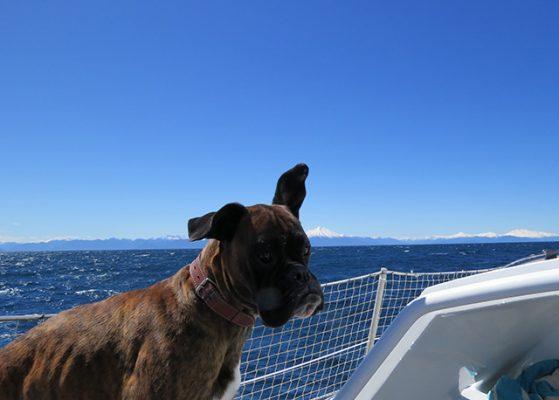 Oscar my faithful (and only) crew Seadog Oscar with windvane ears! from Matt Chauvel