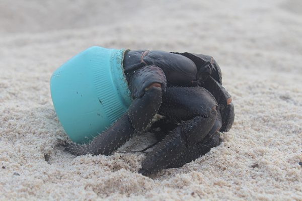 One of many hundreds of crabs that now make their homes out of plastic debris washed up on Henderson Island, this particular item is an Avon cosmetics jar. Credit Dr. Jennifer Lavers