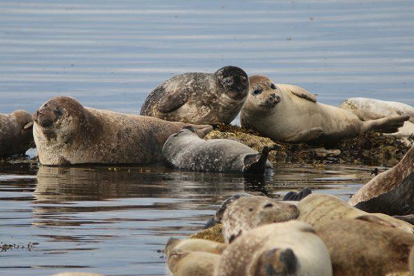 Harbour seals. Credit: Mònica Arso – SMRU