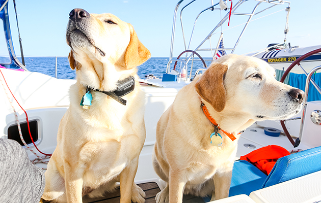 two labradors on a yacht
