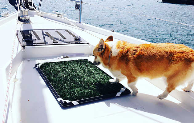 A corgi sniffing astroturf on the bow of a yacht
