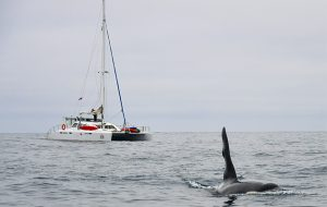 Are whales really a threat to cruisers?