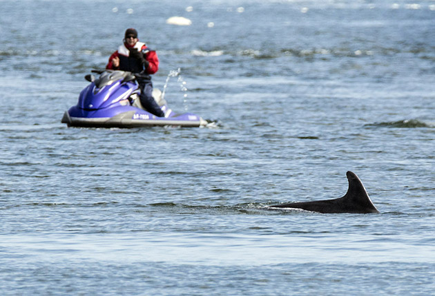 A jet skier with a dolphin in the foreground. Marine wildlife is protected from disturbance under UK law