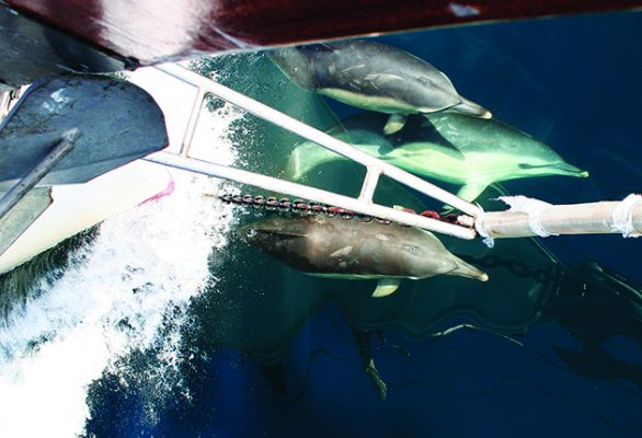 If cetaceans, like common dolphins, bow ride alongside, vessels should not increase their speed or change course. Credit: Genevieve Leaper