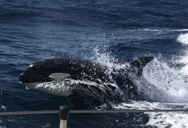 A killer whale swimming alongside a yacht