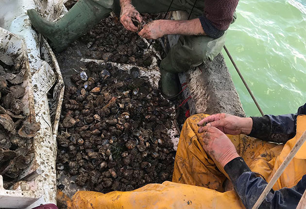 Sorting native oysters from rock oysters in a messy job