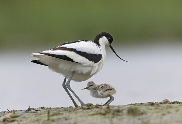 Avocets have been breeding on Havergate Island since 1947. Credit: Alamy Stock Photo