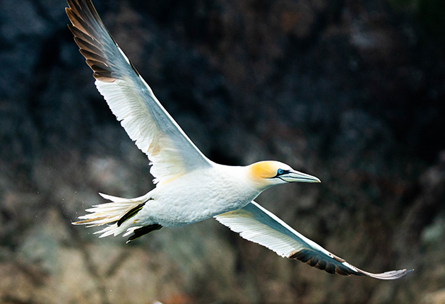 6,000 pairs of gannets descend on Les Etacs from February to September making it one of the most popular bird watching sites in the Channel Islands. Credit: Jane Cumberlidge