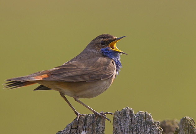 Bird watching by boat - Bluethroat can be seen after sailing to the Fair Isle