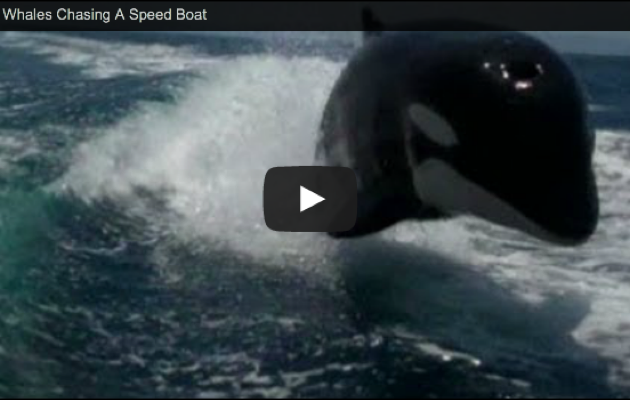 Orca whales video