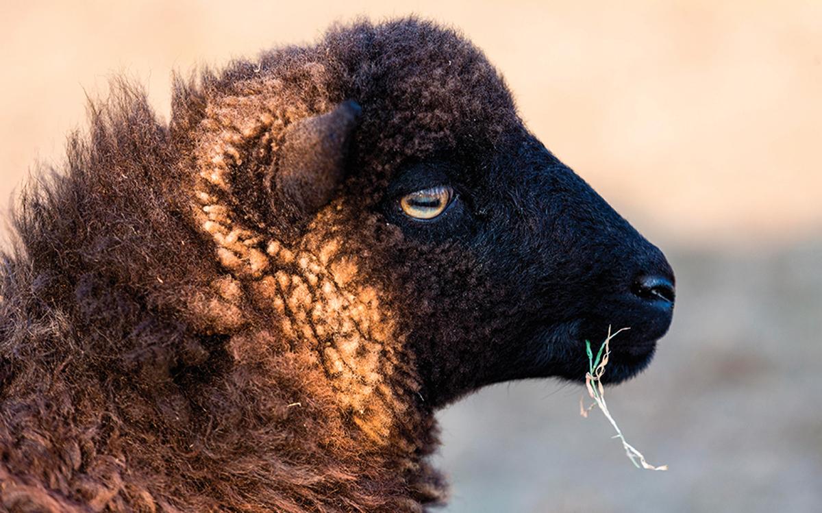 voile-ushant-mouton-crédit-Crystite-RF-Alamy