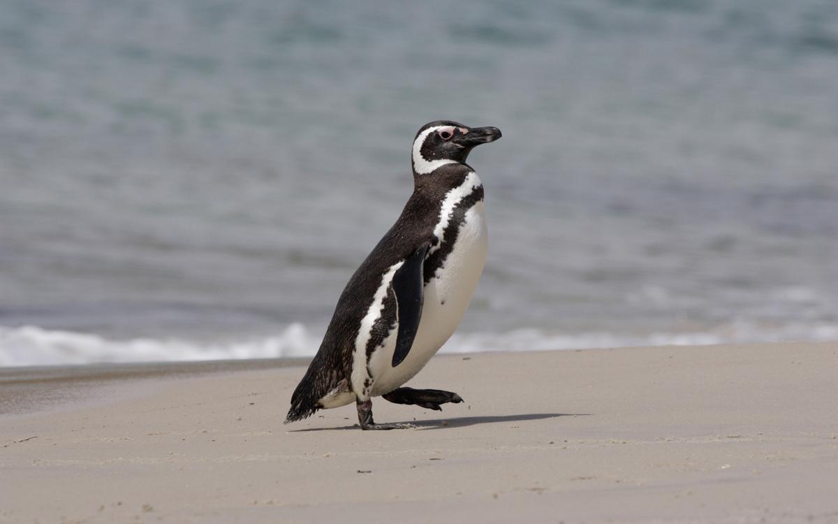 sailing-Falklands-magellanic-penguin-credit-Philip-Mugridge-Alamy