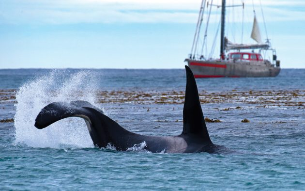 A large male killer whale patrolled the beach for nearly two hours, cruising back and forth as close to the beach as possible. Suddenly he slapped his tail on the surface, seemingly in frustration that none of the seal pups had ventured into the water. Photo: Rick Tomlinson