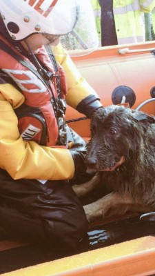 RNLI rescue dog Storm
