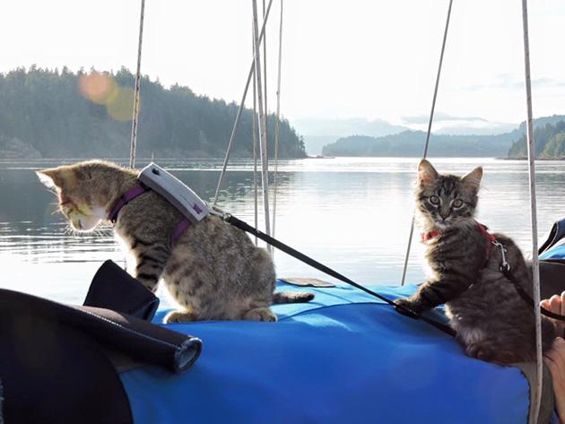 bengal cat rescue illinois