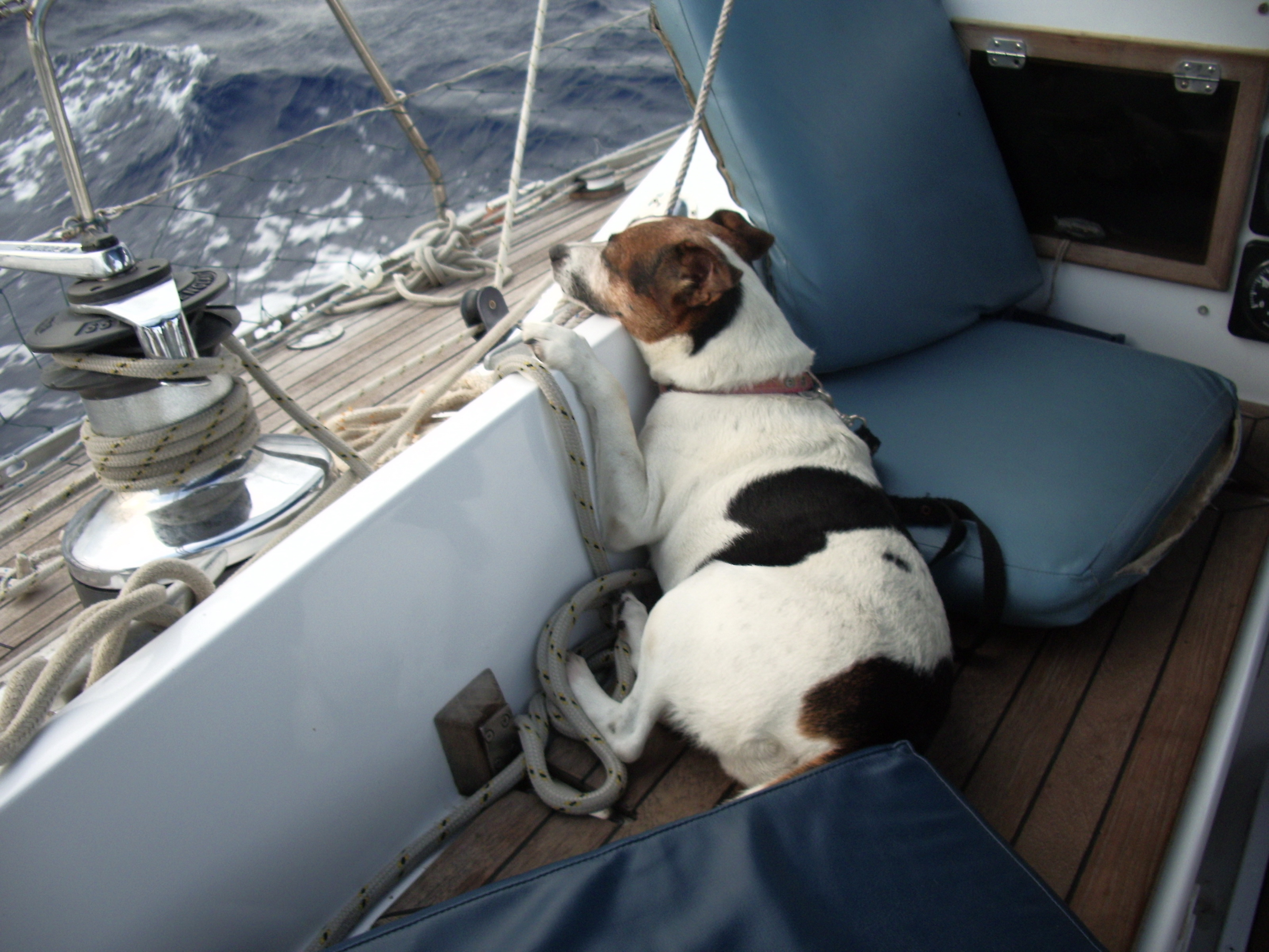 A salty Jack Russell terrier's story!