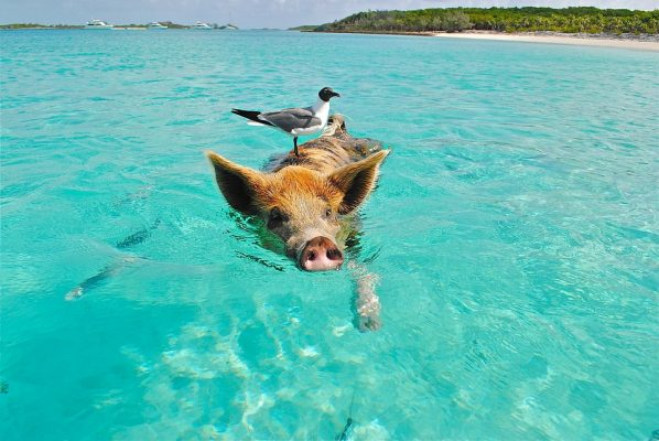 Famous Bahamian swimming pigs found dead and you won't believe why