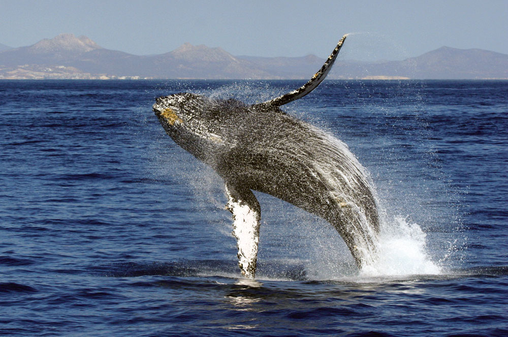 Whale watching in Cabo San Lucas