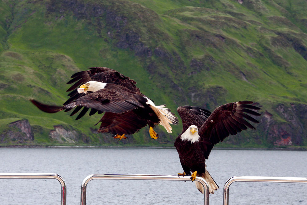 Eagles in Dutch Harbor, Alaska