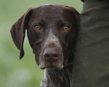 Hunt Point And Retrieve Gun Dog Breeds The Field