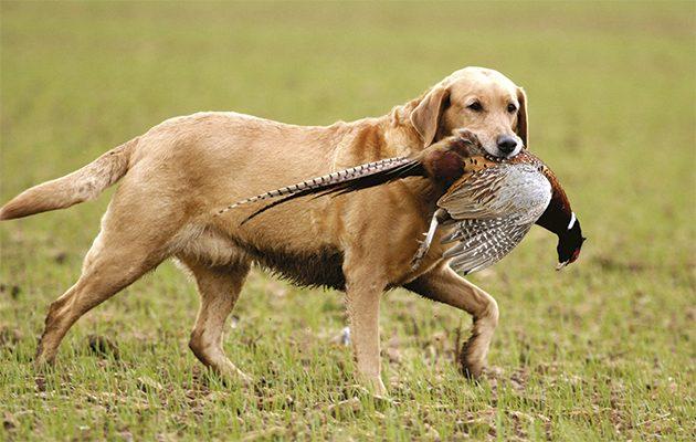 Tips for gundog retrieving.