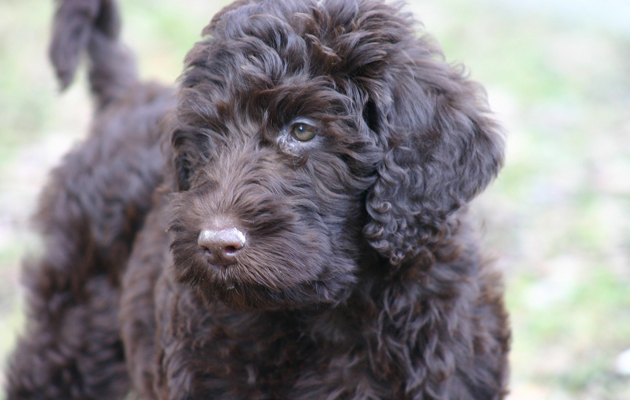 21 best crossbreed dogs. Labradoodle.