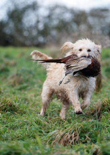 Crossbreed Dogs The Field