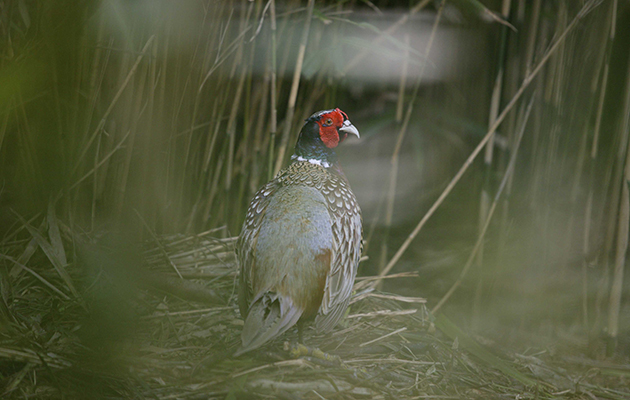 History of the pheasant. A cock pheasant.