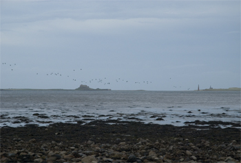 Wildfowling on Lindisfarne 3
