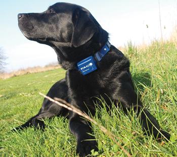 Dog wearing electric collar