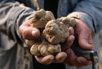 The elusive white truffle found in Alba in Piedmont