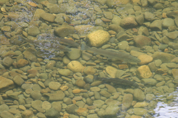 Sea trout in the shallows of the River Esk