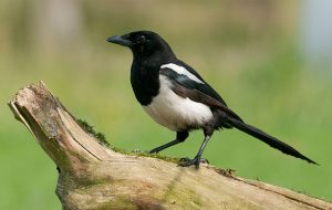 How to deter magpies
